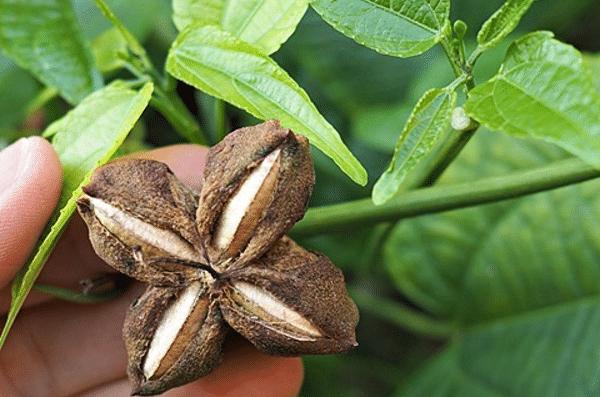 Graines de Sacha Inchi Grillées, vendues sur Al'Origin